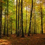 جنگل راش