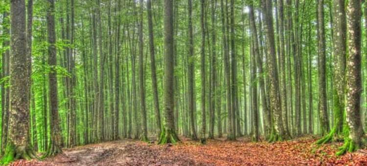 جنگل راش با درختانی سر به فلک کشیده